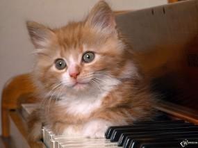 Обои Котенок на пианино: , Кошки