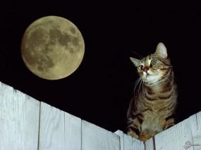 Обои Кот при луне: , Кошки