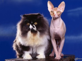 Обои Толстый и худой кот: , Кошки