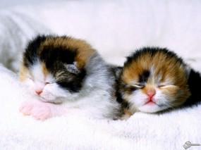 Обои Спящие котята: , Кошки