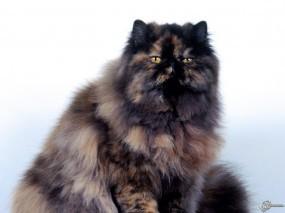 Обои Бандитский котяра: , Кошки