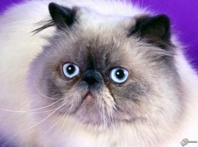 Обои Белый голубоглазый котяра: , Кошки
