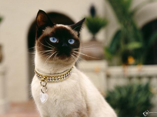 Голубоглазая гламурная кошка