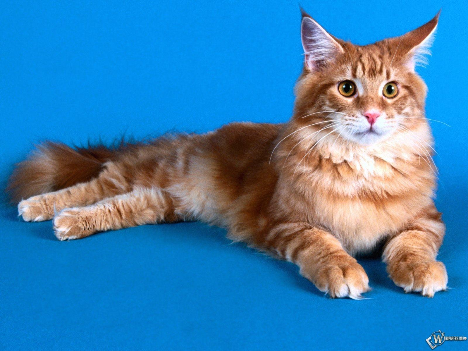Рыжий пушистый кот 1600x1200