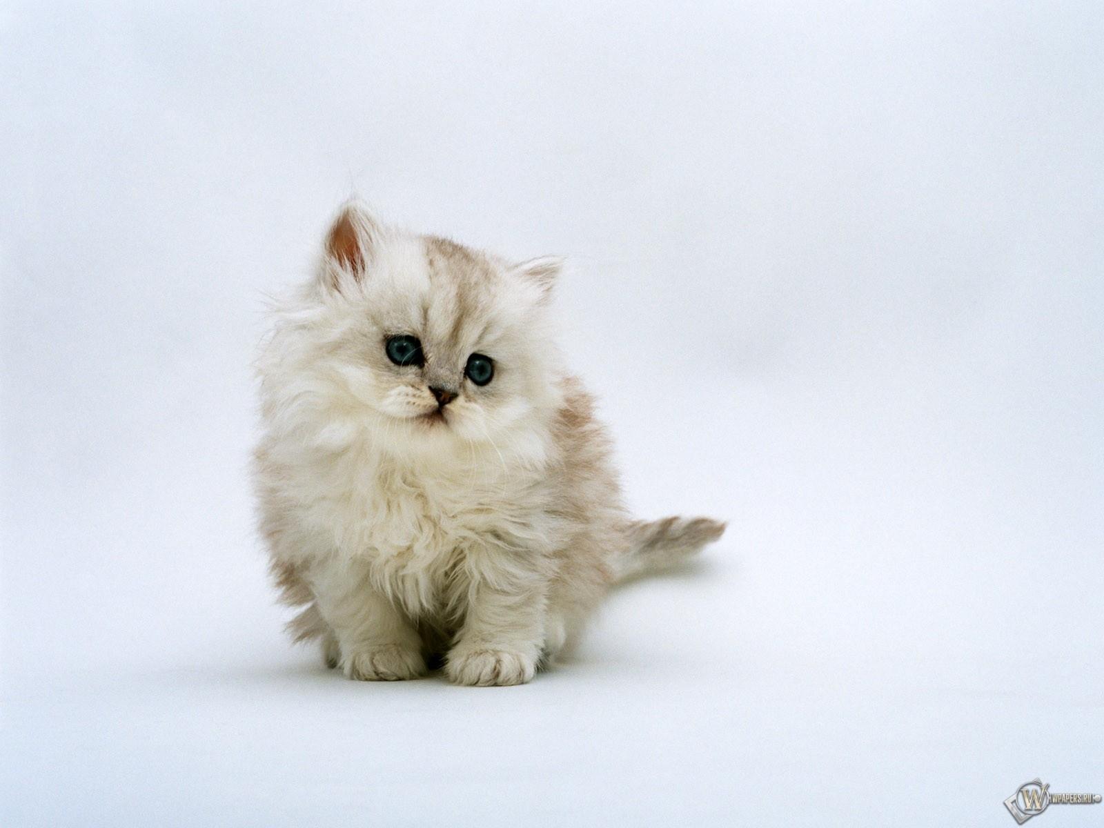 Пушистый котенок 1600x1200