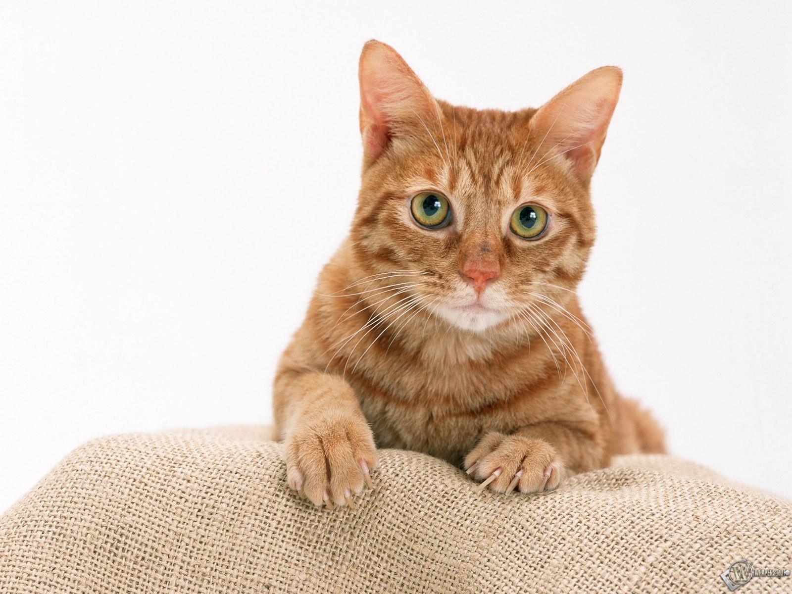 Рыжий кот  1600x1200