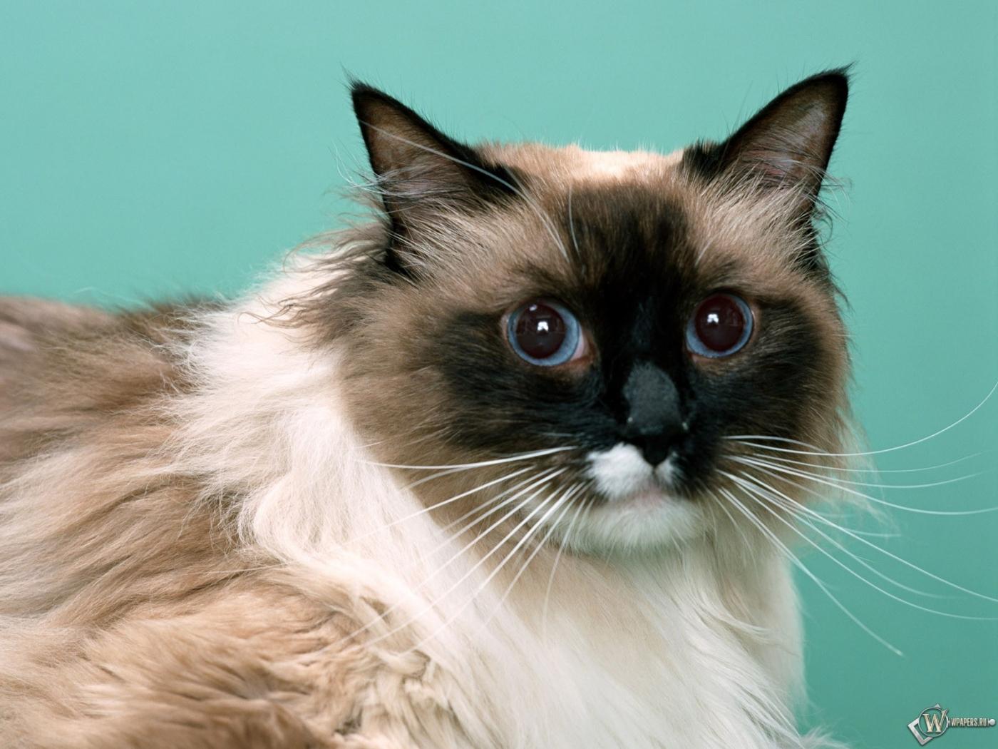 Голубоглазый кот 1400x1050
