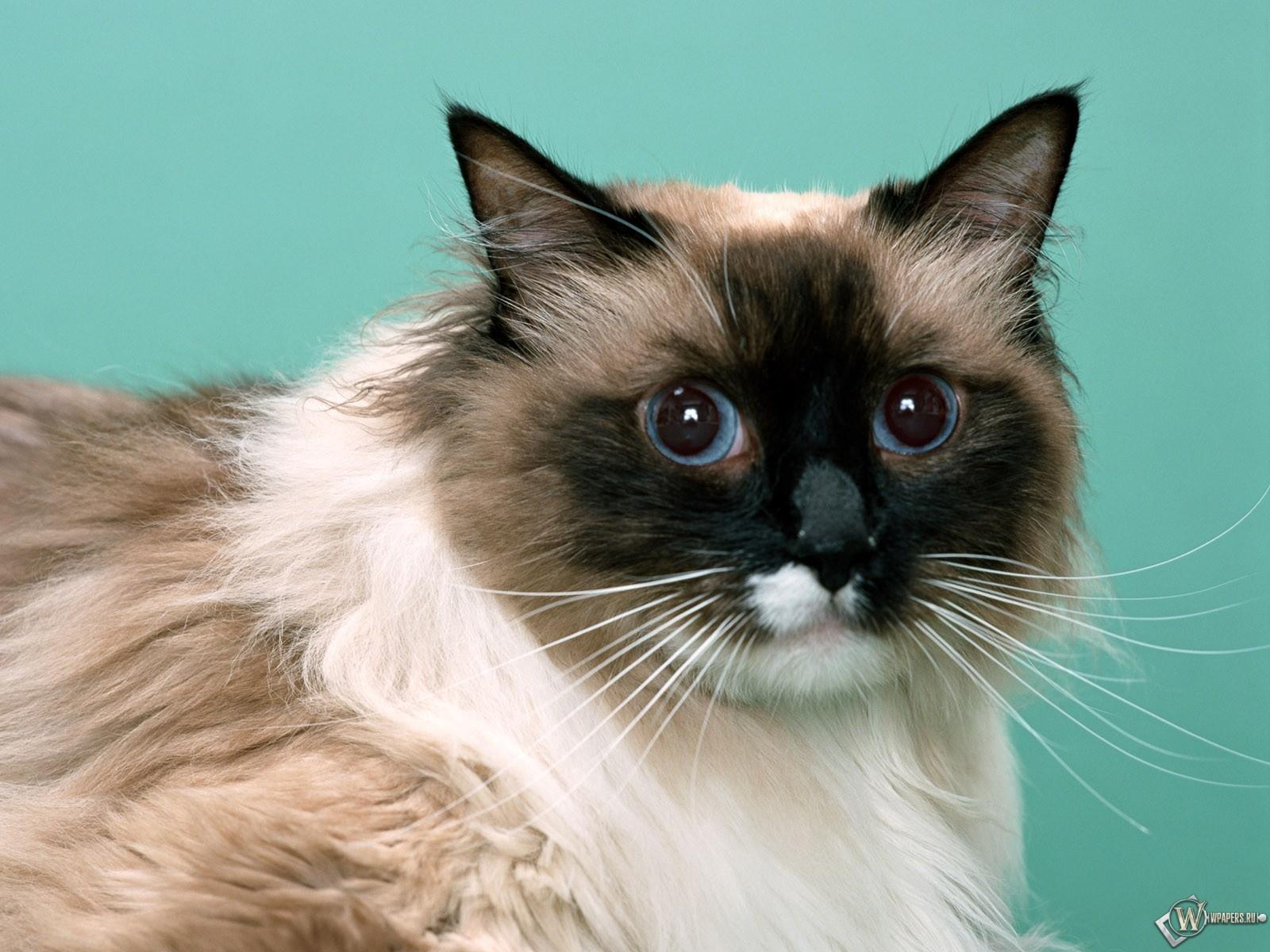 Голубоглазый кот 1600x1200