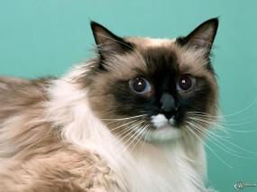 Обои Голубоглазый кот: , Кошки