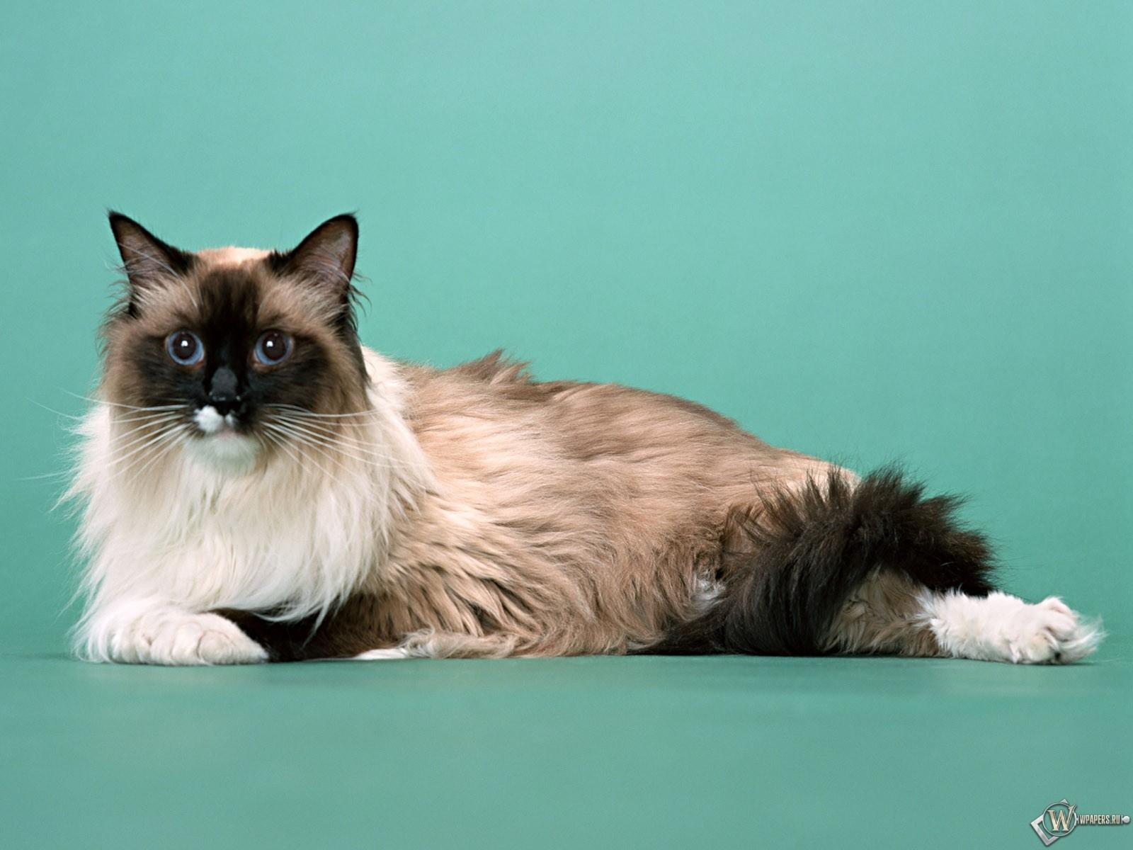 Голубоглазая кошка 1600x1200