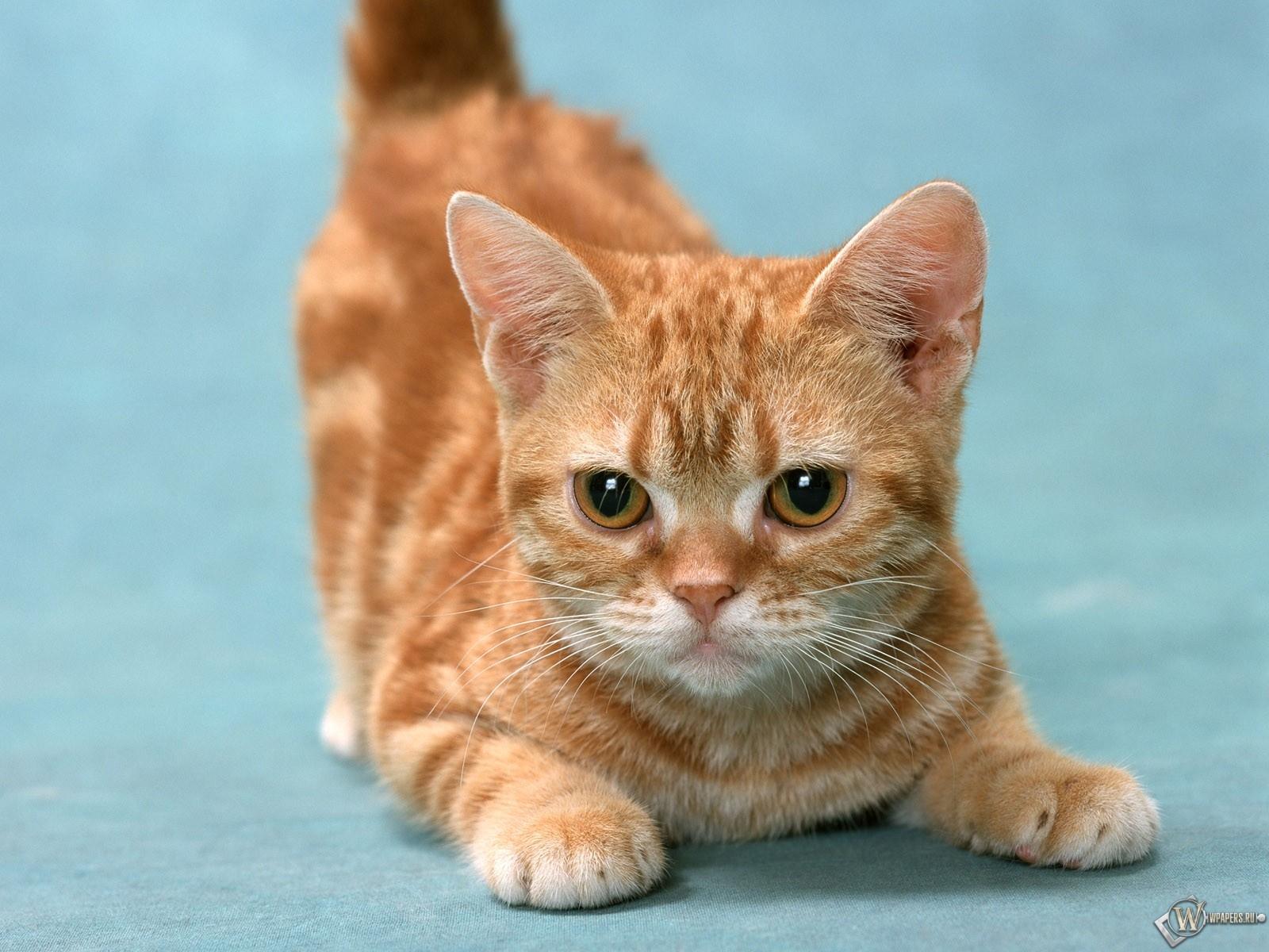 Рыжий котенок 1600x1200