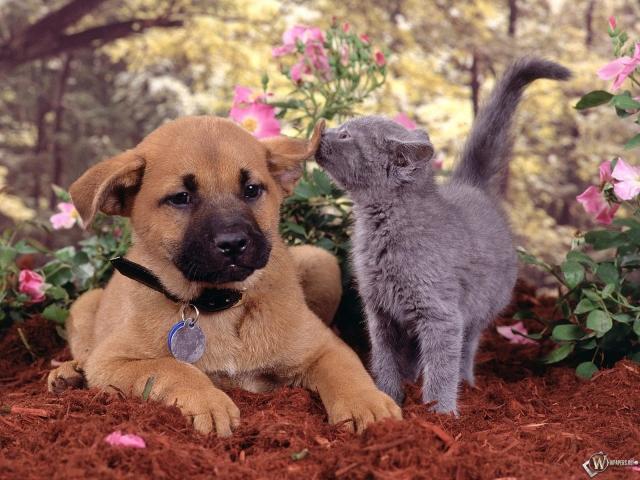 Котенок нюхает ухо щенка