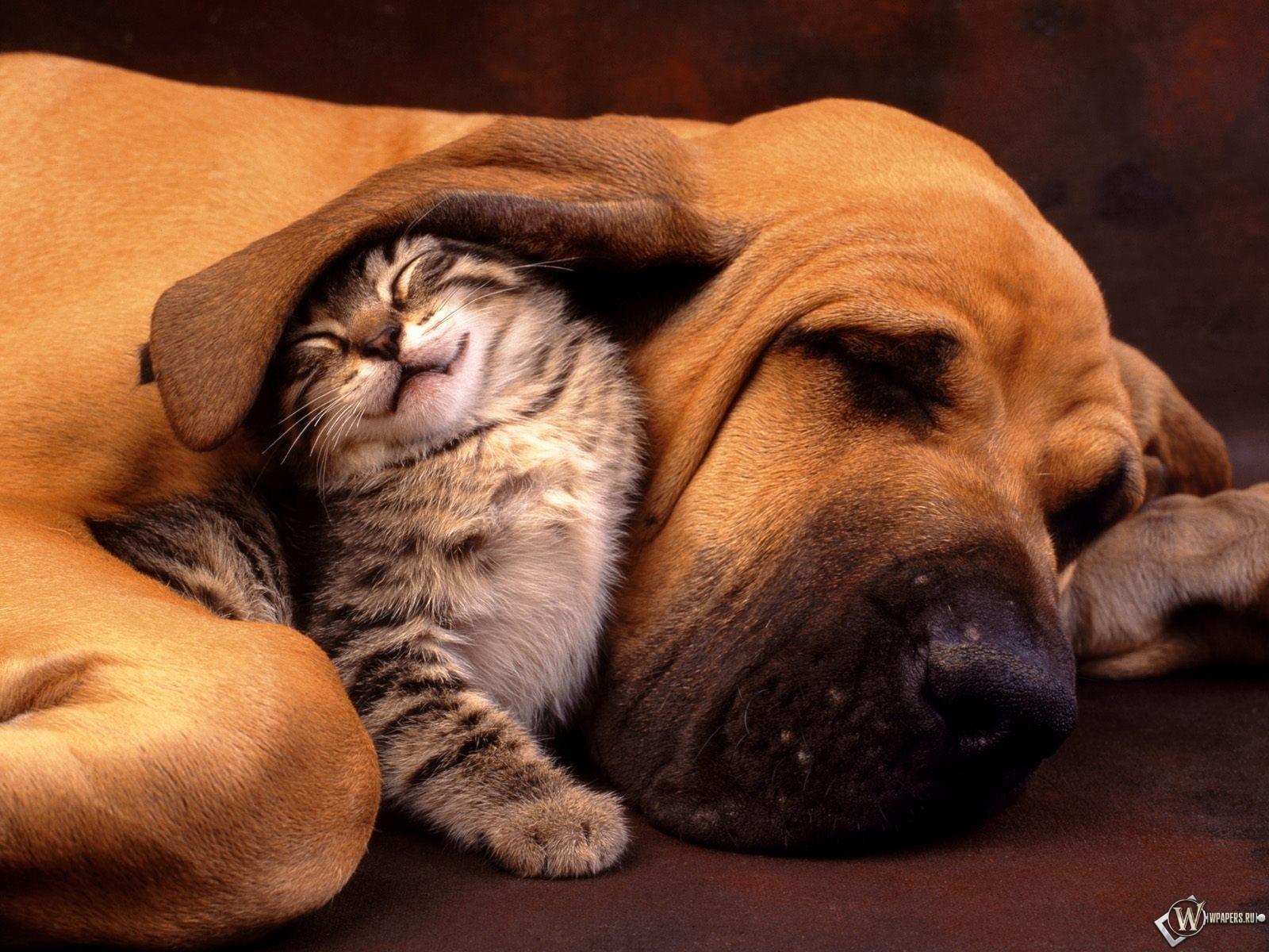 Котенок под ухом собаки 1600x1200
