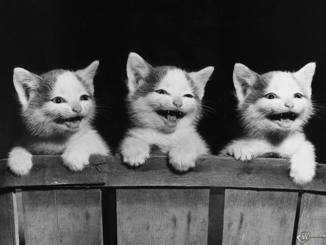 Три котенка смеются