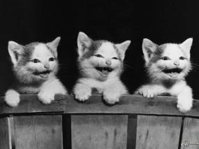 Обои Три котенка смеются: , Кошки