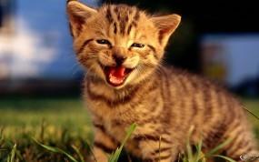 Обои Укуреный котенок: , Кошки