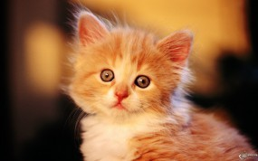 Обои Глазастый котенок: , Кошки