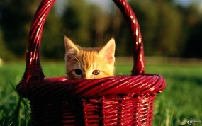 Обои Котенок в корзинке: Котёнок, Корзинка, Кошки