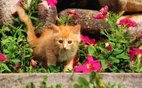 Обои Котенок в клумбе: Цветы, Котёнок, Клумба, Кошки