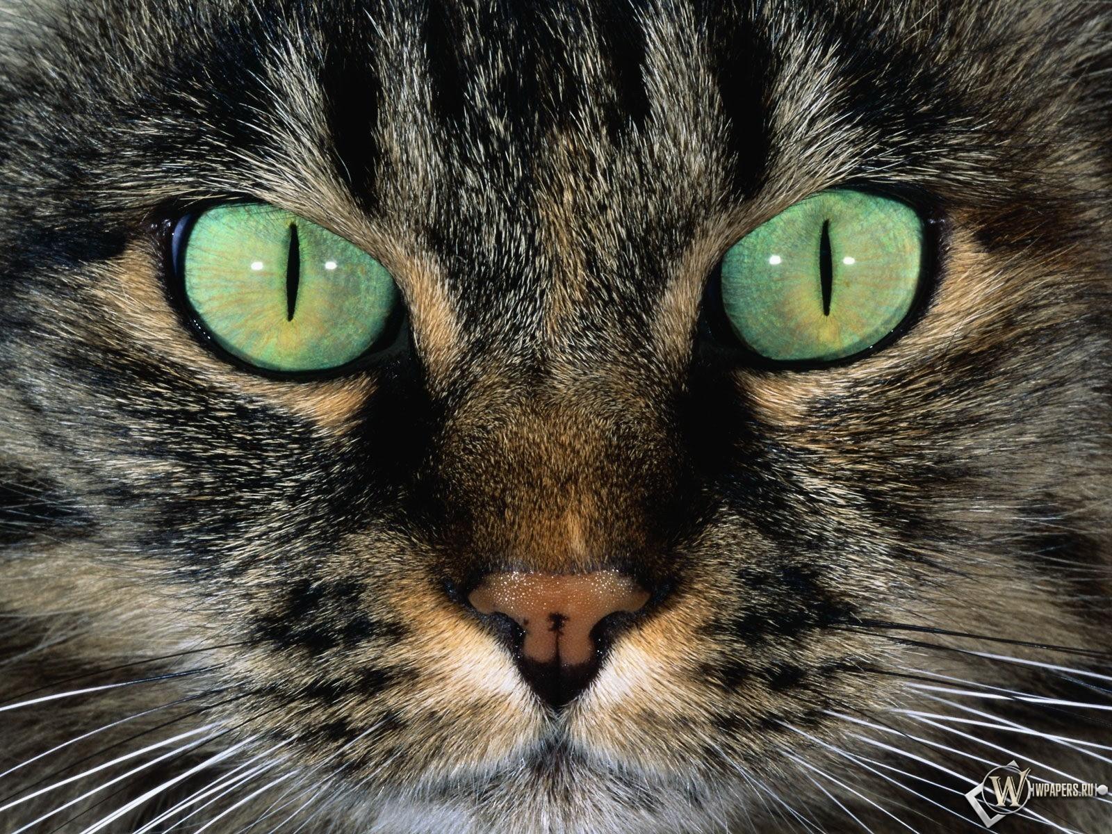 Морда кошки 1600x1200