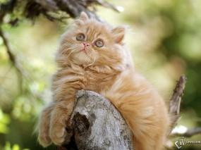 Обои Котик на дереве: Бревно, Персидский кот, Кошки