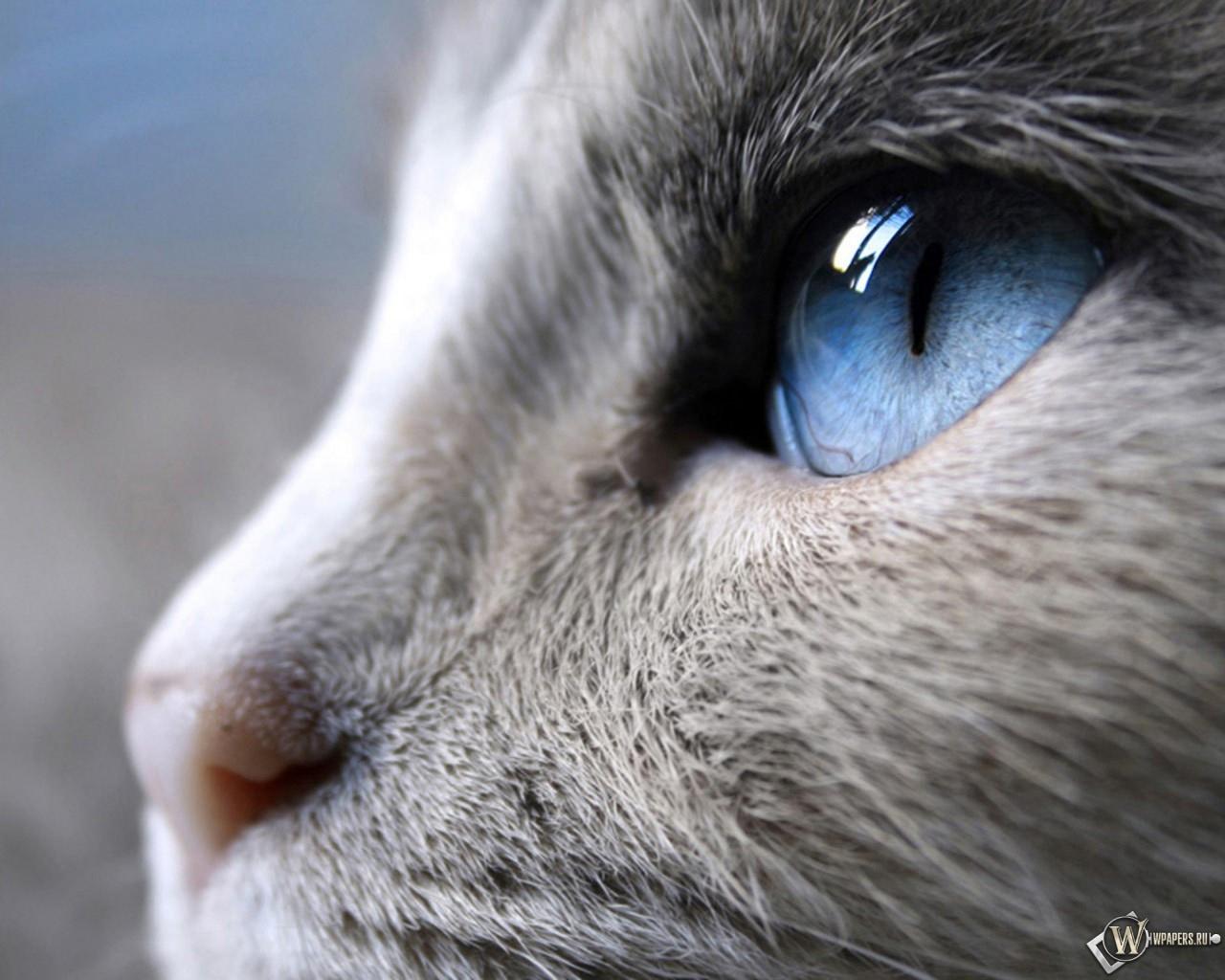Голубые глаза кошки 1280x1024
