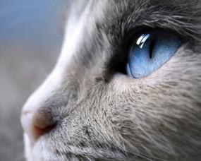 Обои Голубые глаза кошки: Кошка, Макро, Сиам, Кошки
