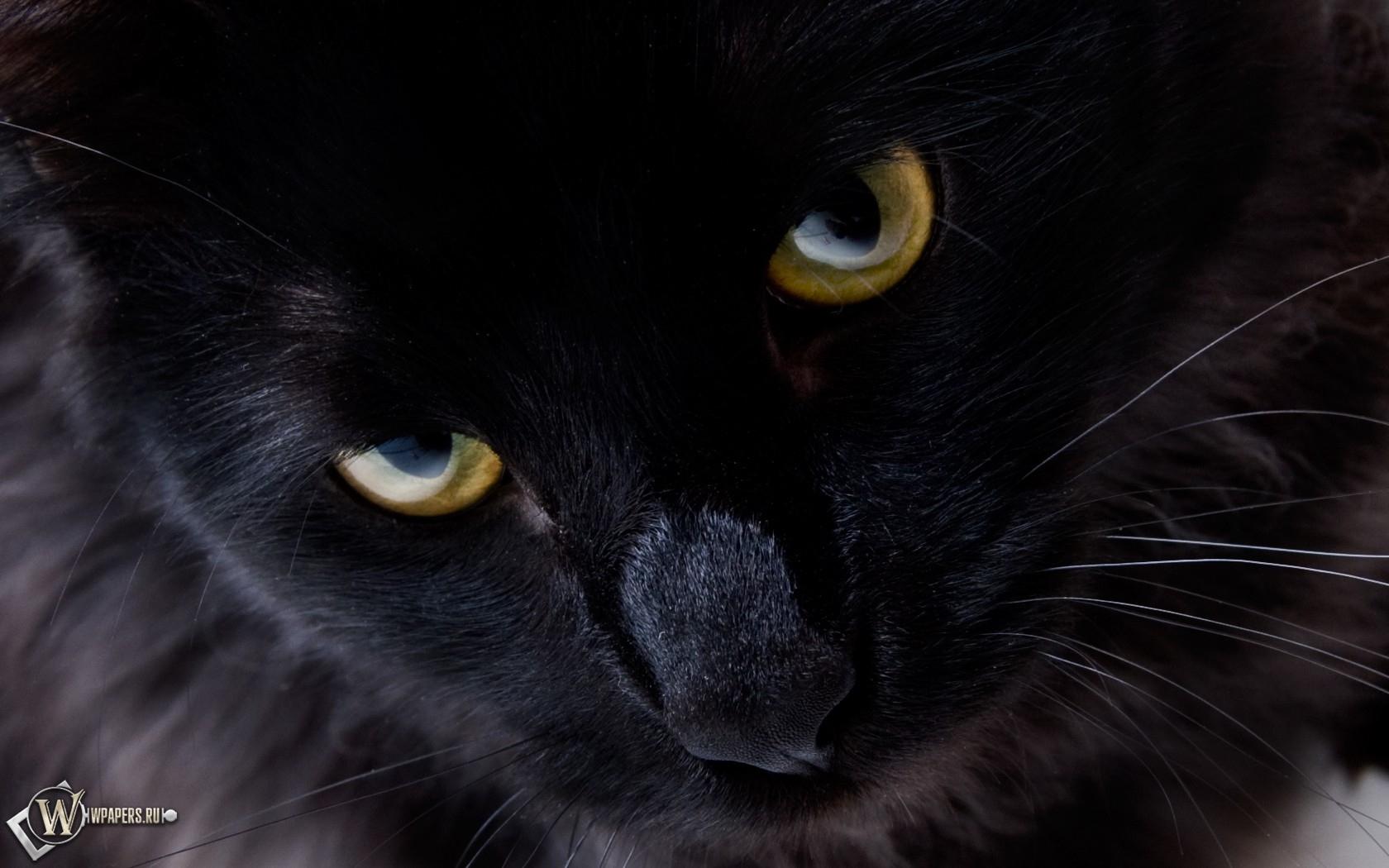 Взгляд черной кошки 1680x1050