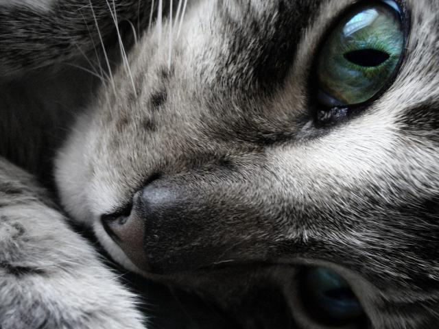 Усталая кошка