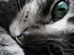 Обои Усталая кошка: Взгляд, Морда, Кошка, Усталость, Кошки