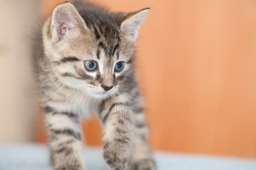 Обои Котёнок: Кот, Котёнок, Кошки