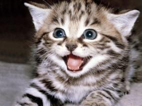 Обои Шипящий котенок: Котёнок, Страх, Кошки