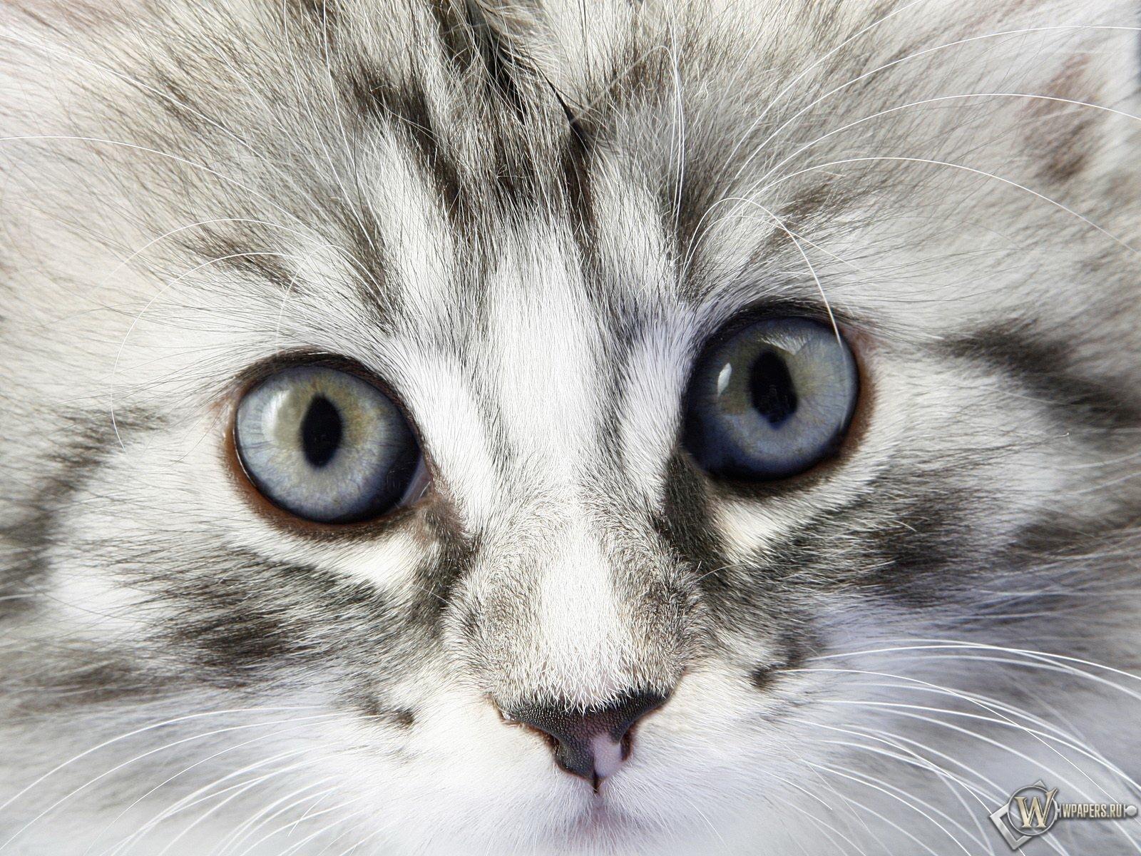 Взгляд котёнка 1600x1200