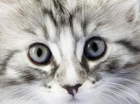 Обои Взгляд котёнка: Взгляд, Котёнок, Кошки