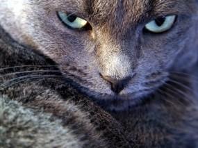 Обои Серьезный взгляд котэ: Взгляд, Котэ, Злость, Кошки