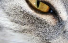 Обои Кошачий глаз: Глаз, Кошка, Кошки