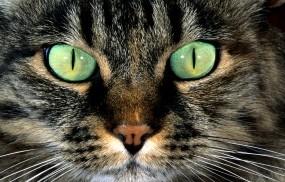 Обои Кошачья морда: Глаза, Взгляд, Морда, Кошка, Кошки