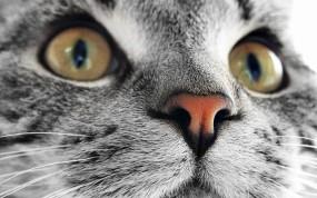 Обои Кошачья мордочка: Взгляд, Кошка, Мордашка, Кошки