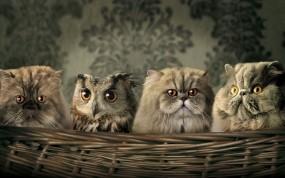 Обои Сова среди котов: Сова, Коты, Палево, Кошки