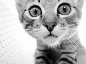 Обои Котик: Котёнок, Черно-белое, Котик, Кошки
