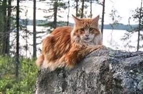 Обои Мейн-Кун: Кот, Порода, Мейн-кун, Кошки