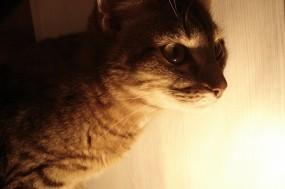 Обои Полосатый кот: Кот, Кошки