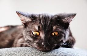 Обои Заинтересованный котэ: Лежит, Котэ, Смотрит, Кошки
