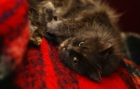 Обои Черная кошка: Кошка, Мурка, Плед, Кошки