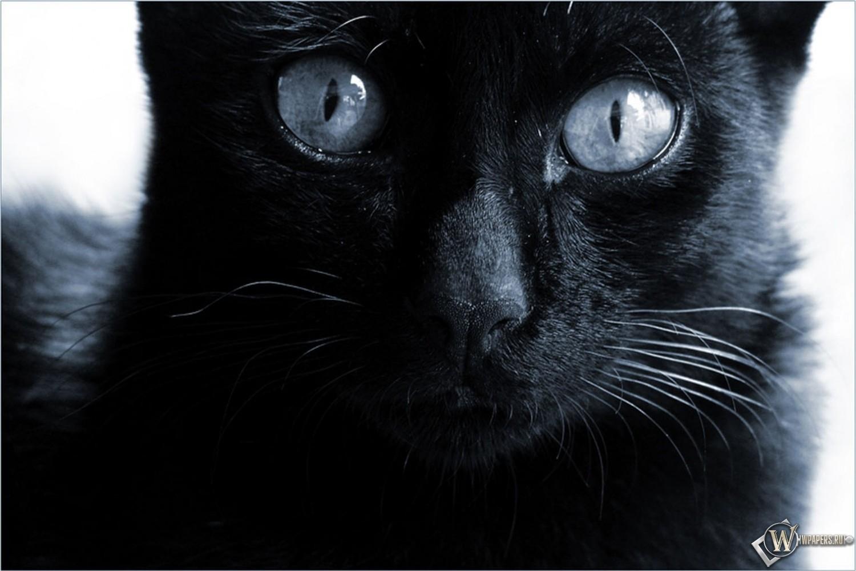 Черная кошка  1500x1000