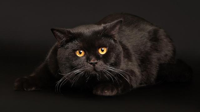 Черный кот играет