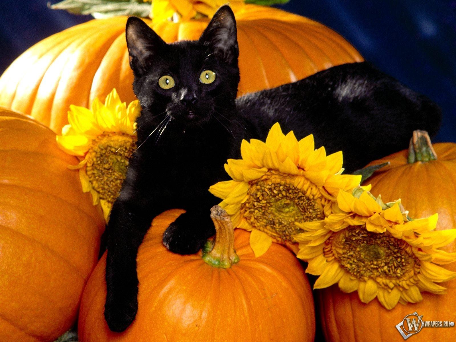 Черный кот на тыквах 1600x1200