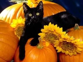 Обои Черный кот на тыквах: Чёрный кот, Тыквы, Кошки