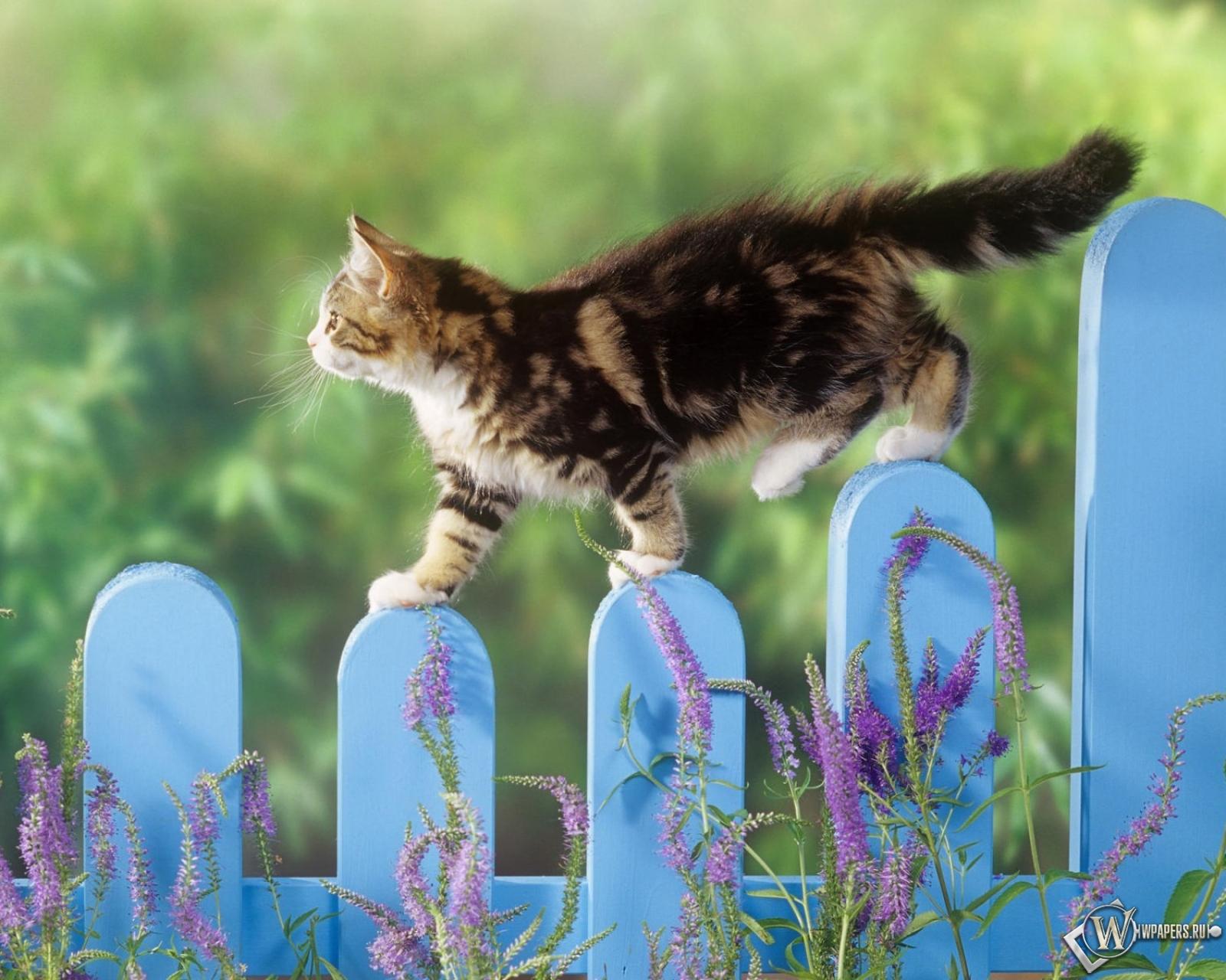 Котенок гуляет по забору 1600x1280