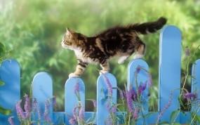 Обои Котенок гуляет по забору: Забор, Кошак, Котёнок, Кошки